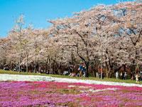 赤城南面千本桜・写真