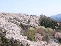 桜山公園の桜・写真