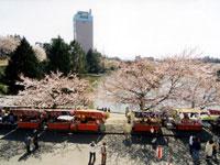 前橋公園のサクラ・写真