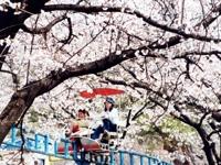 華蔵寺公園のサクラ・写真