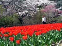 吾妻公園のチューリップ・写真