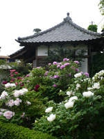 正蓮寺のボタン・写真
