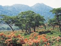 赤城山のレンゲツツジ・写真