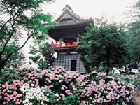 能護寺(あじさい寺)・写真
