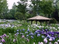 染谷花しょうぶ園・写真