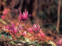 カタクリとオオムラサキの林・写真