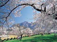 羊山公園の桜・写真