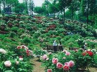 東松山ぼたん園・写真