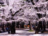 大宮公園の桜・写真