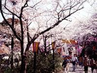衣笠山公園のサクラ・写真