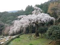 長興山のしだれ桜・写真