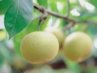 三平果樹園・写真