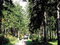 笹ヶ峰 ドイツトウヒの森・写真