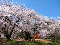 村松公園の桜・写真