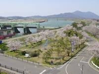 大河津分水の桜・写真