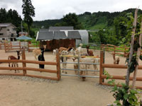 山古志アルパカ牧場・写真