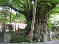 上日寺の大イチョウ・写真