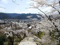 花筐公園の桜・写真