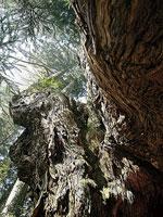 岩屋の大杉(岩屋観音)・写真