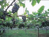 シャルマンワイン山梨ワイナリー・写真