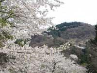 山の神千本桜・写真