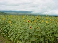 忍野の花畑・写真