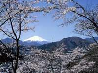 岩殿山のサクラ・ツツジ・サツキ・写真