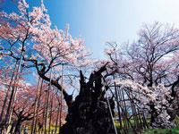 山高神代桜・写真