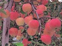 青森りんごの里・写真