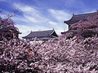 上田城跡公園の桜・写真