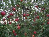 達者村農業観光振興会果樹部会「りんご狩り」・写真