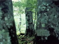 ブナ林散策コース・写真