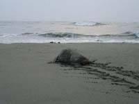 アカウミガメ産卵地・写真