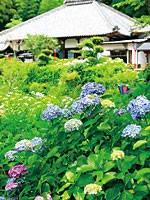 極楽寺のアジサイ