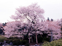 狩宿の下馬桜・写真