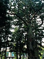 虫川の大杉・写真