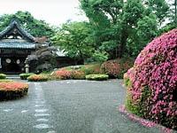 雲迎寺のサツキ・写真