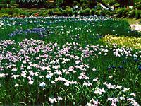 花の郷滝谷花しょうぶ園・写真
