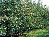 神田りんご生産組合・写真
