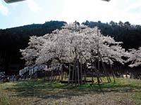 根尾谷淡墨桜・写真
