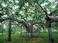 日本最古のりんご樹・写真