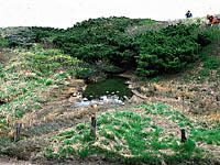大山のダイセンキャラボク・写真
