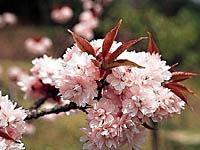 宗堂桜・写真