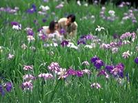 両神国民休養地の花菖蒲・写真