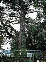 大玉杉・写真