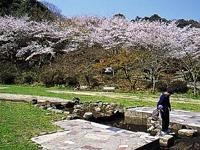 長等公園の桜・写真