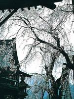 円正寺のシダレザクラ・写真
