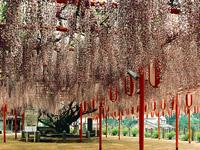 定禅寺の藤(迎接の藤)・写真