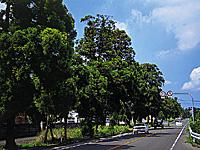豊後街道 菊陽杉並木・写真