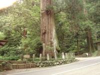 矢頭の大杉・写真